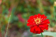Flor vermelha no direito da foto Fotos de Stock