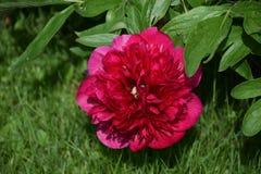 Flor vermelha no foco Fotos de Stock Royalty Free
