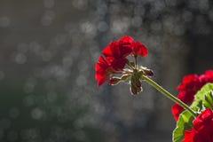 Flor vermelha no fundo preto Fotografia de Stock