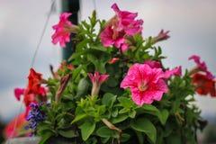 Flor vermelha no jardim foto de stock