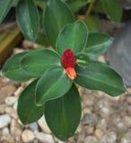Flor vermelha no jardim Fotos de Stock Royalty Free