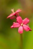 Flor vermelha pequena do jatropha Fotografia de Stock