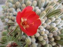 A flor vermelha Portulaca cresce junto com o cacto imagens de stock