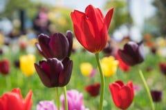 Flor vermelha romântica da tulipa fotografia de stock royalty free