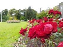 Flor vermelha, rosa do vermelho Foto de Stock