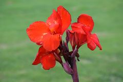 Flor vermelha selvagem, Varadero, Cuba fotos de stock