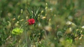 Flor vermelha solitário video estoque
