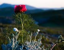 Flor vermelha sozinha Imagem de Stock