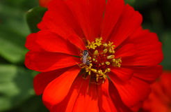Flor vermelha vívida com as abelhas no meio Fotos de Stock Royalty Free