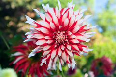 Flor, vermelho e branco da dália Fotografia de Stock Royalty Free