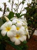 Flor VI do Plumeria Imagem de Stock Royalty Free