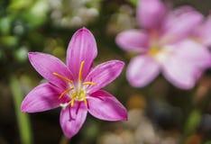 Flor vibrante no fundo escuro Fotografia de Stock Royalty Free