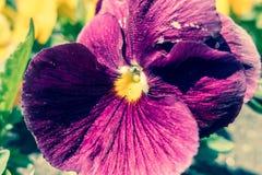 Flor - viola Fotos de Stock Royalty Free