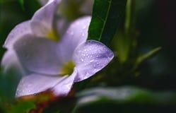 Flor violada clara Fotos de archivo libres de regalías