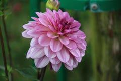Flor Violet And White Dahlia imagem de stock royalty free