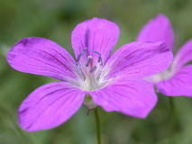 Flor violeta Foto de archivo