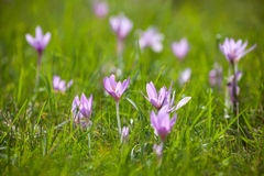 Flor violeta Fotografia de Stock
