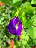 Flor violeta Imagem de Stock