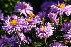 Flor violeta Imagen de archivo libre de regalías