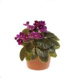 Flor violeta Foto de Stock Royalty Free