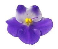 Flor violeta aislada Imágenes de archivo libres de regalías