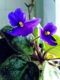 Flor violeta azul Imagem de Stock