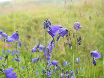 Flor violeta bonita na frente da grama borrada Fotos de Stock