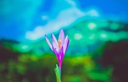 Flor violeta brilhante da mola do açafrão, montanhas e céu azul no th Fotos de Stock