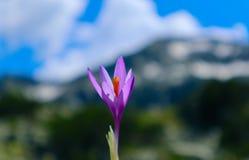 Flor violeta brilhante da mola do açafrão, montanhas e céu azul no th Imagens de Stock