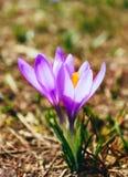 Flor violeta brilhante da flor da mola do açafrão, natureza da montanha Saf Foto de Stock