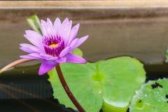 Flor violeta brilhante do lírio Imagens de Stock Royalty Free