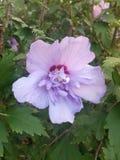 Flor violeta colorida Foto de archivo