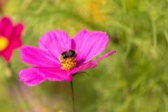Flor violeta con una abeja en ella Fotografía de archivo libre de regalías