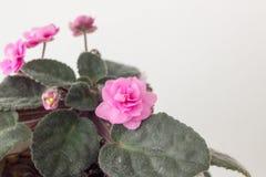 flor violeta cor-de-rosa em um peitoril da janela Foto de Stock
