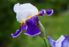 A flor violeta da íris no jardim, iries bonitos floresce no fundo natural verde Foto de Stock Royalty Free