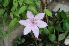 Flor violeta da videira selvagem Fotos de Stock