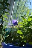 Flor violeta de florescência do grandiflorus de Platycodon em pouco jardim fotografia de stock