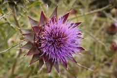Flor violeta de la alcachofa en un día de verano Imagenes de archivo