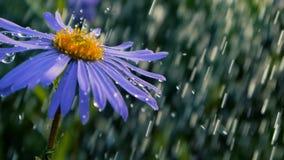 Flor violeta de la margarita bajo descensos chispeantes de la ducha en un día soleado en la cámara lenta almacen de metraje de vídeo