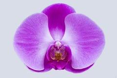 Flor violeta de la orquídea Imagen de archivo libre de regalías