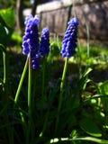 Flor violeta de la primavera Fotografía de archivo libre de regalías