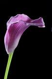 Flor violeta de Lilly de la cala Imagenes de archivo