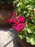 Flor violeta de ornamentos Foto de archivo