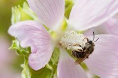 Flor violeta de polinización de la abeja de la miel Insecto macro de la visión que busca el néctar Profundidad del campo baja, fo Fotos de archivo