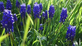 Flor violeta decorativo de la flor del neglectum del muscari en primavera Belleza de la naturaleza y de colores vibrantes almacen de video