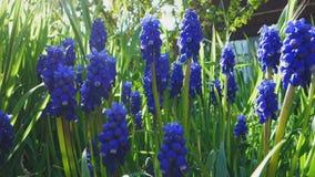 Flor violeta decorativo de la flor del neglectum del muscari en primavera Belleza de la naturaleza y de colores vibrantes almacen de metraje de vídeo