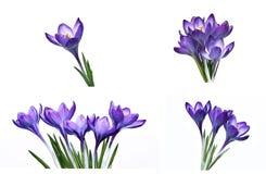 Flor violeta del azafrán aislada Imagen de archivo libre de regalías
