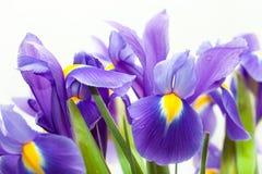 Flor violeta del blueflag del iris amarillo Foto de archivo libre de regalías
