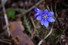 Flor violeta del bosque Fotografía de archivo