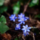 Flor violeta del bosque Imagen de archivo libre de regalías